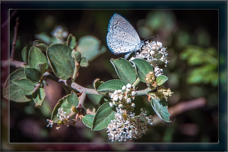 Lupine Blue-2844 blog