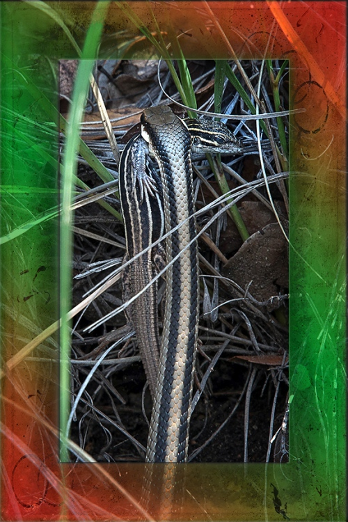Mexican Garter Snake AZ Striped Whiptail blog