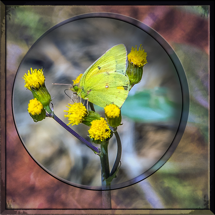 Orange Sulphur Butterfly-1679 art Blog