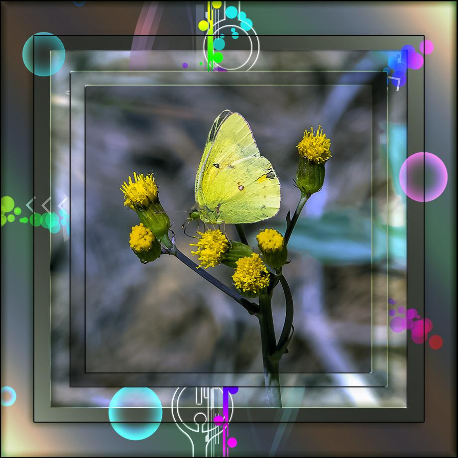 Orange Sulphur Butterfly-1680 II blog