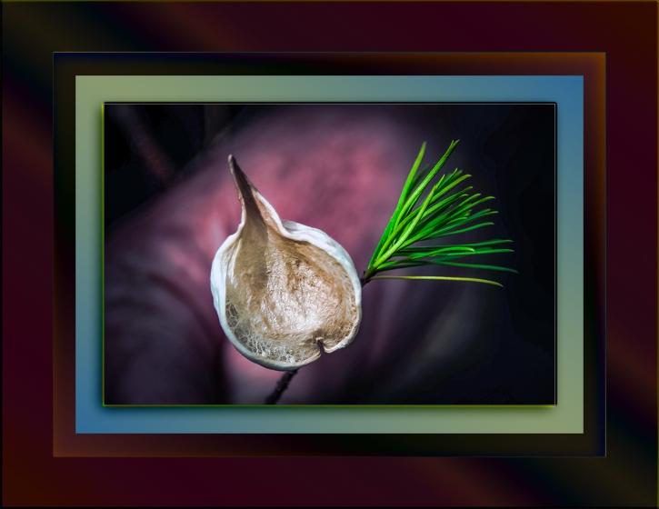 Pine Leaf Milkweed Pod-33 blog