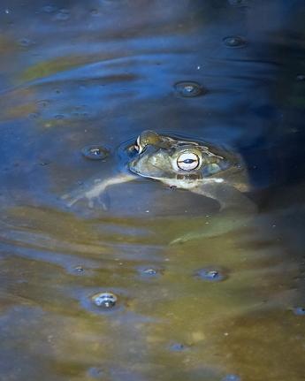 Sonoran Toads-2966 blog