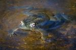 Sonoran Toads-2973 blog