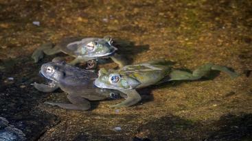 Sonoran Toads-2987 blog