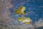 Sonoran Toads-2989 blog