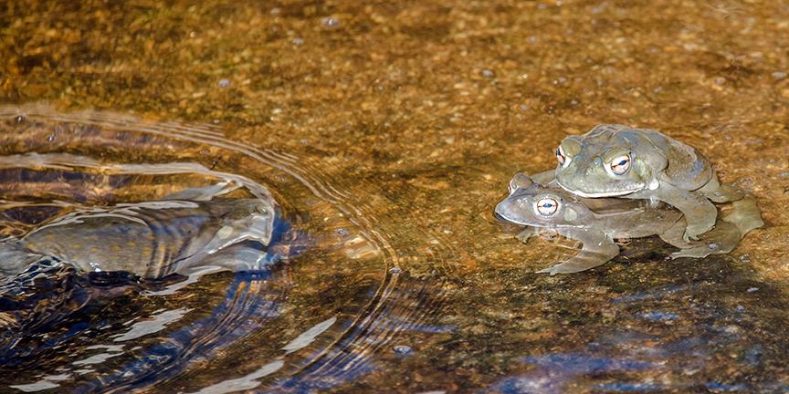 Sonoran Toads-2992 blog