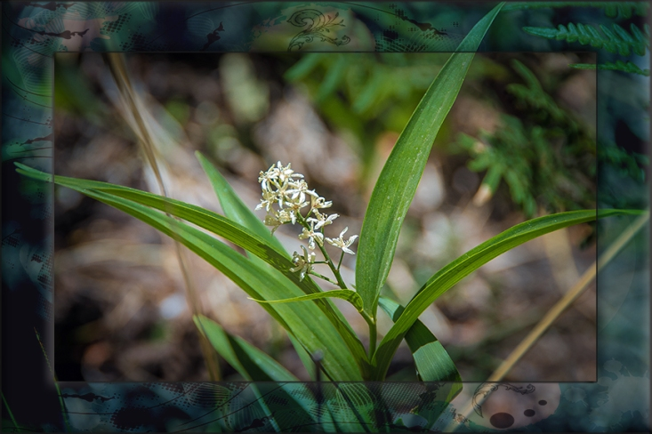 Star Solomon's seal-2887-2 blog