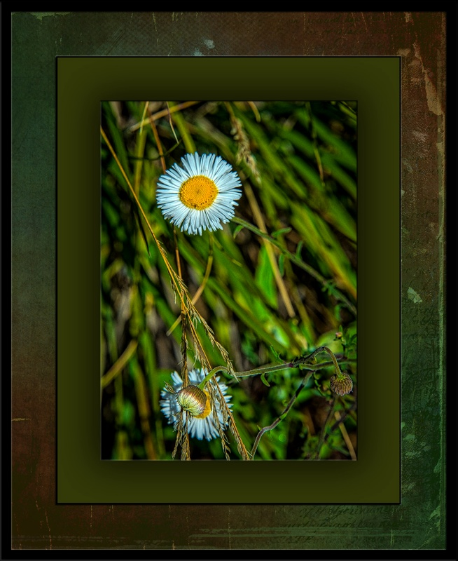Arizona Fleabane-3172_edit blog
