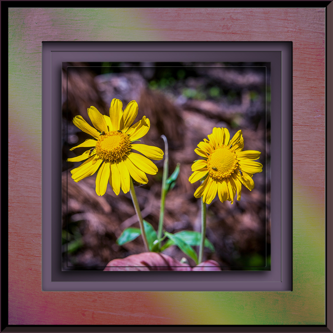 Aspen Sunflower-3099 blog