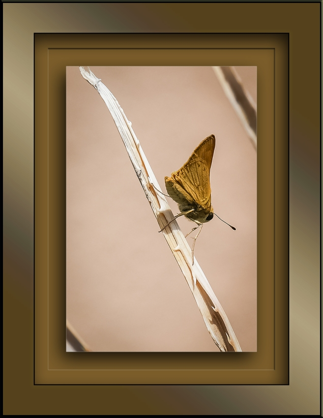 Butterfly-0255-2 blog framed