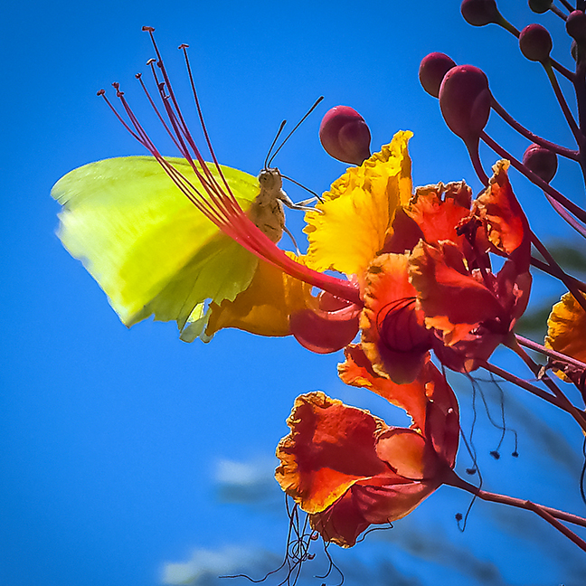 Cloudless Sulphur-0301 blog.jpg