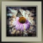 Field Cresent Butterfly-3071 framedblog