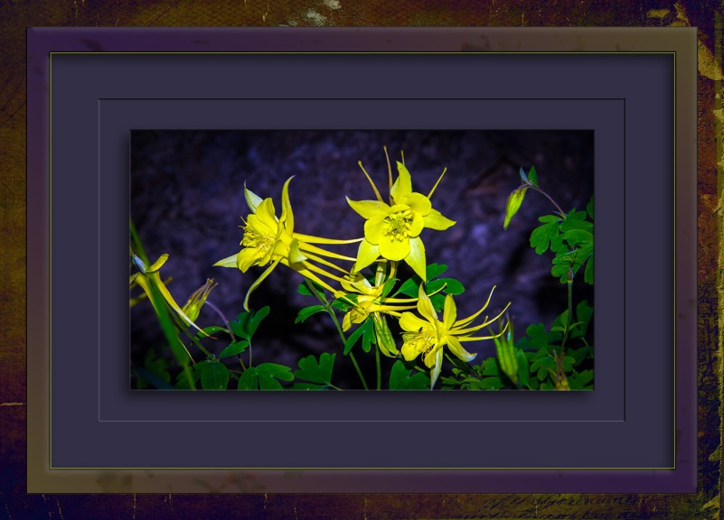 Golden Columbine-3197 blog II