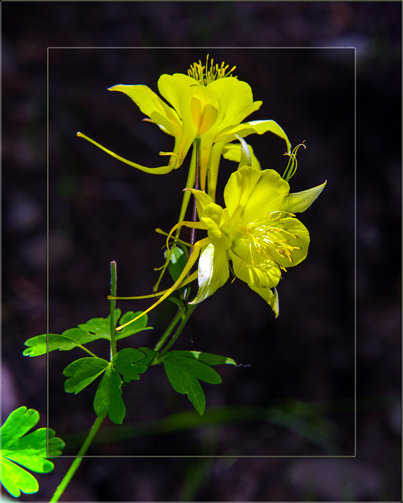 Golden Columbine-3199 blog