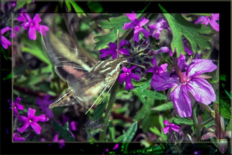 White-lined Sphinx Moth-3157 blog