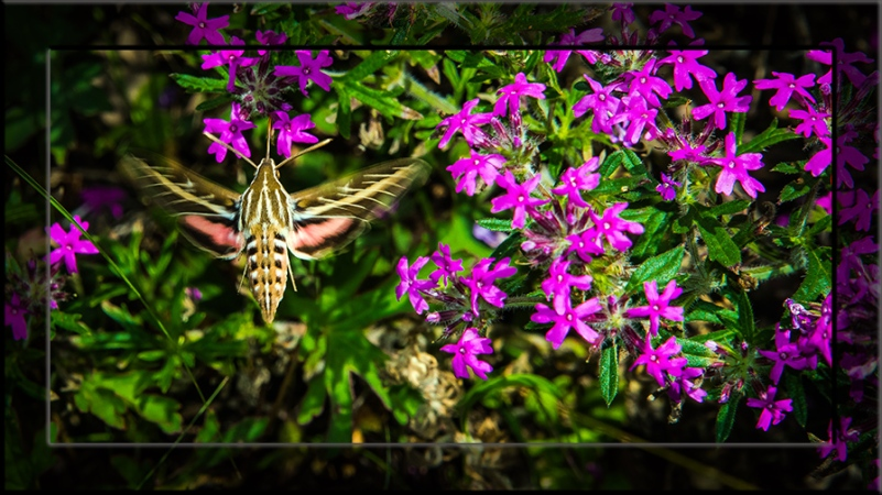 White-lined Sphinx Moth-3162 blog