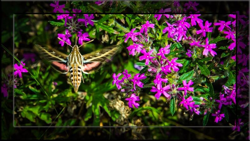 White-lined Sphinx Moth-3162 blog