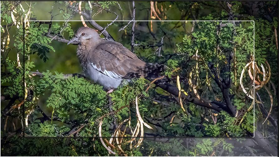 White winged dove-0249 blog