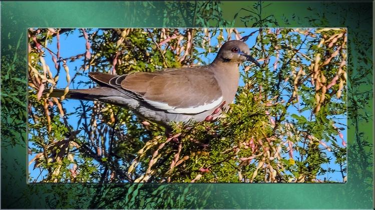 White winged dove-0250 blog