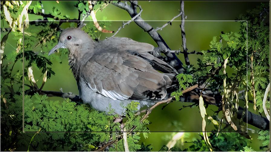White Winged Dove-0252 blog