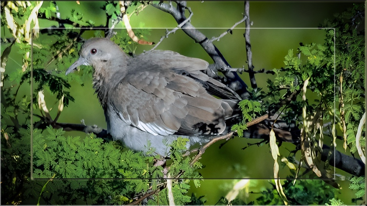 White Winged Dove-0252 blog