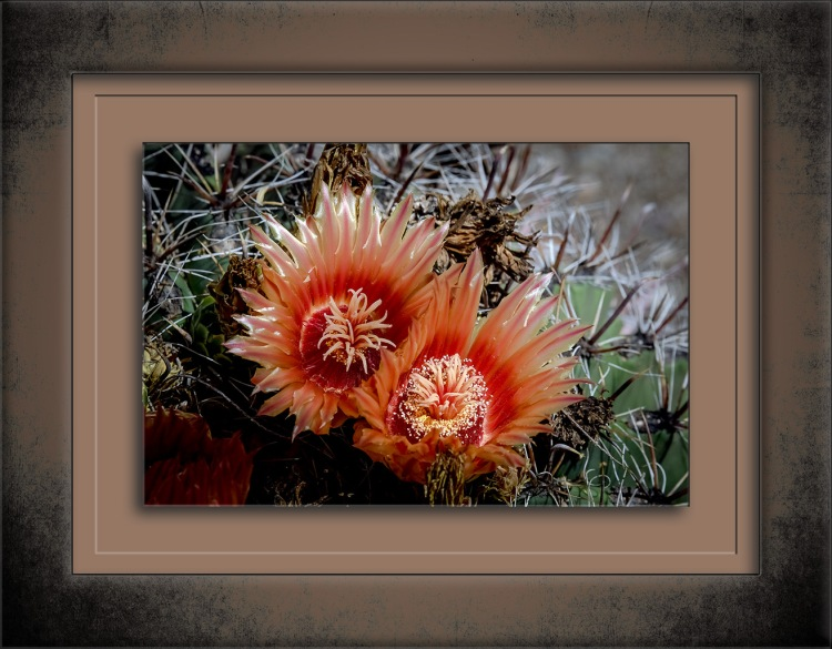 Barrel Cactus Blossoms-0443 blog
