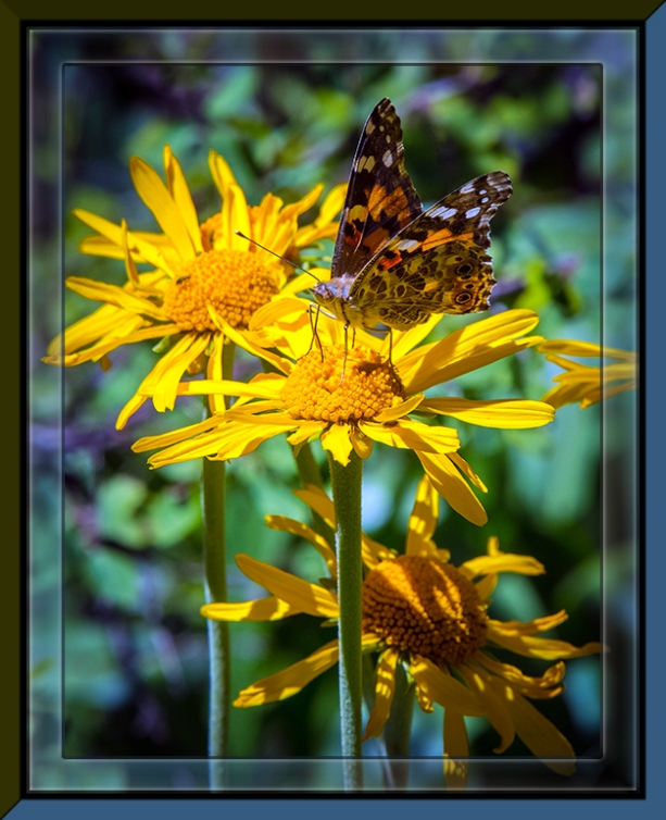 Sneezeweed & Butterfly (1 of 1)-2 blog