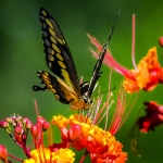 Two-tailed Swallowtail-0446 blog