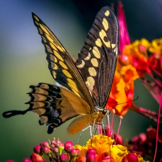 Two-tailed Swallowtail-0450 blog