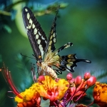 Two-tailed Swallowtail-0458 blog