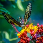 Two-tailed Swallowtail-0459 blog