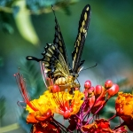 Two-tailed Swallowtail-0460 blog