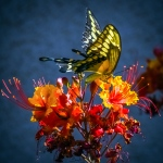 Two-tailed Swallowtail-0462 blog