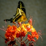 Two-tailed Swallowtail-0467 blog