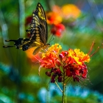 Two-tailed Swallowtail-0484 blog
