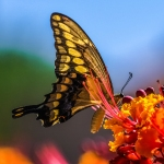 Two-tailed Swallowtail-0487 blog