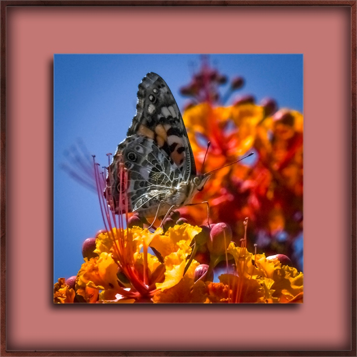 Painted Lady-0414 blog II
