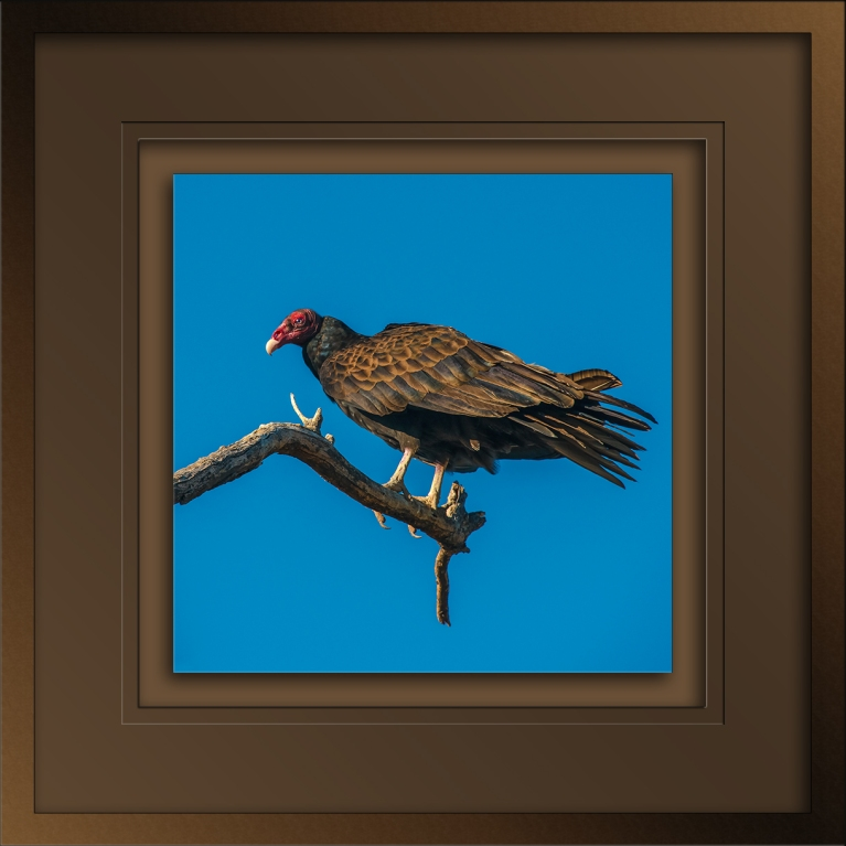Turkey Vulture (1 of 1)-14 blog-1