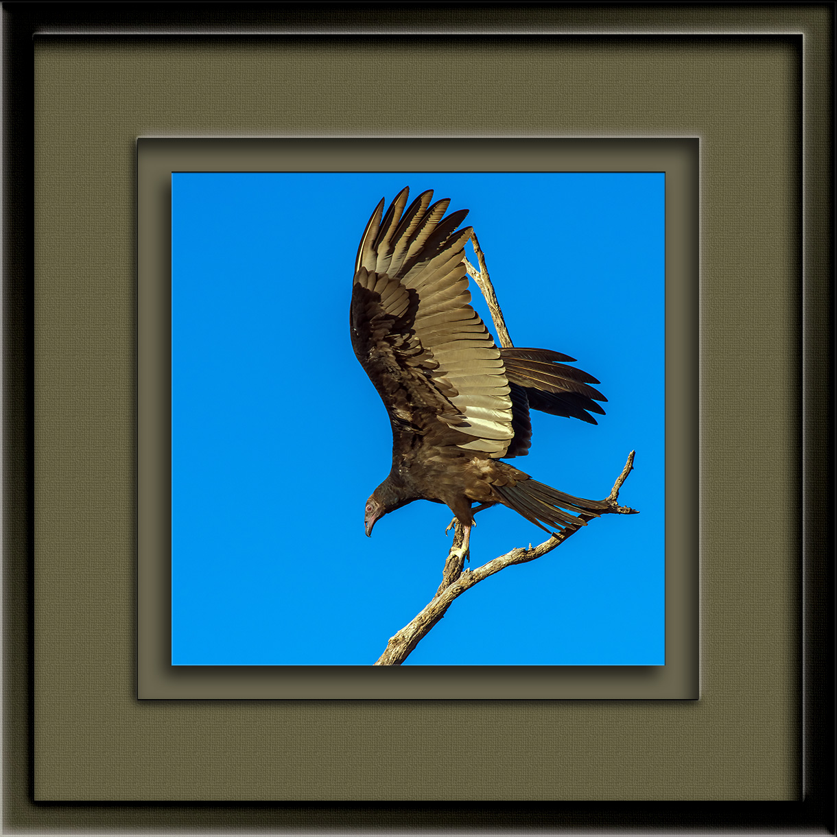 Turkey Vulture (1 of 1)-19 blog