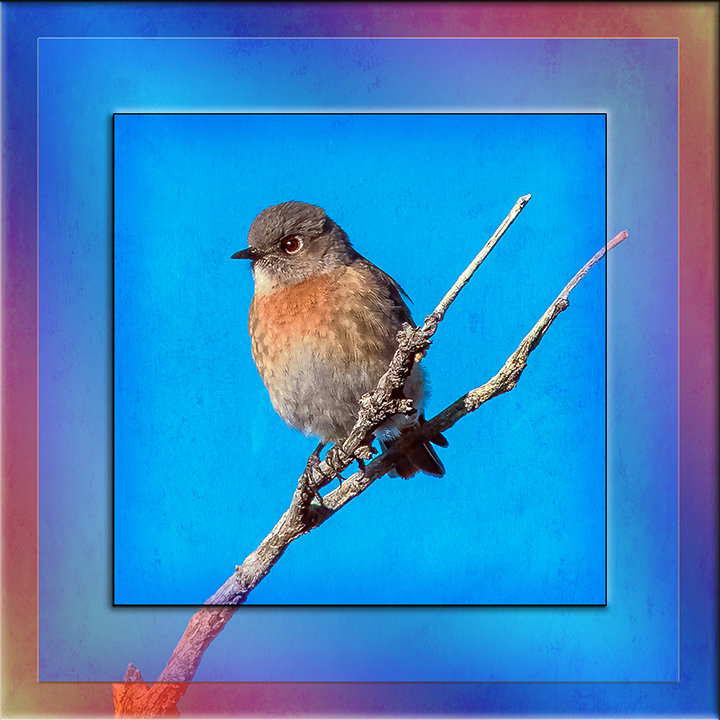 Western Bluebird-0518 Framed blog