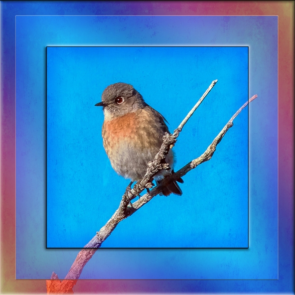 Western Bluebird-0518 Framed blog