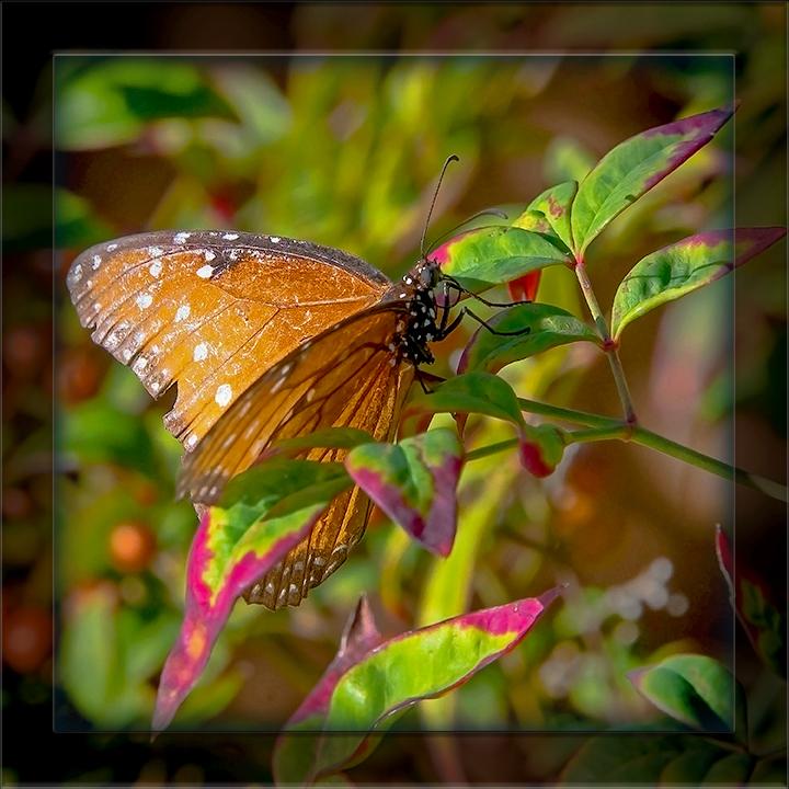 butterflies-half-moon-8825-blog II