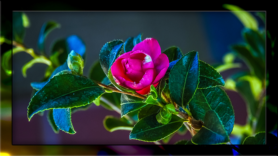 camellia flower-0743 framed blog