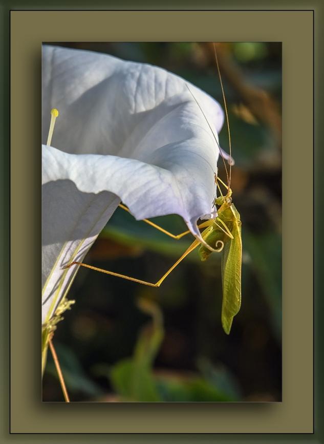 Green Grasshopper w- long legs-0718 blog