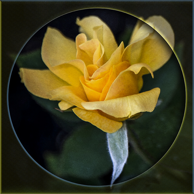 Kemah_2015 05 03_0576-2 Yellow Rose blog II