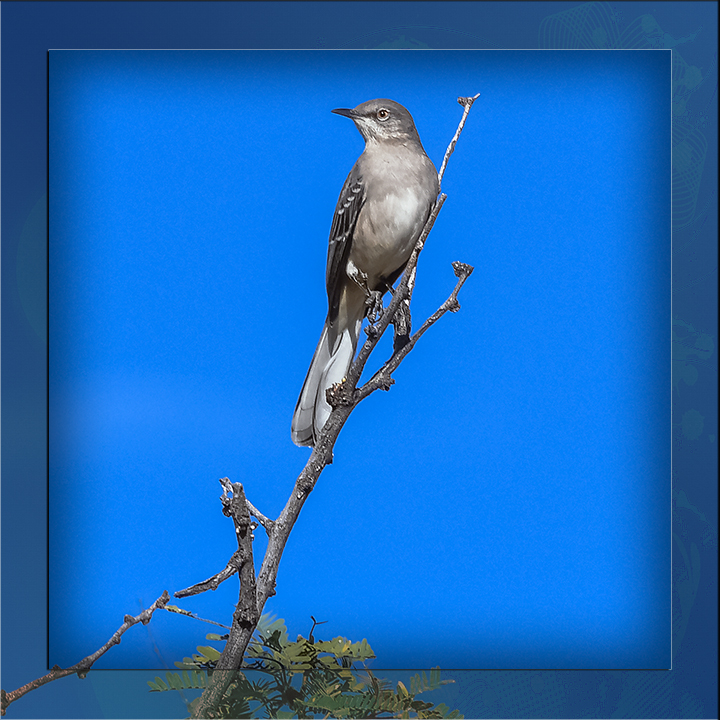 Northern Mockingbird-0631 blog