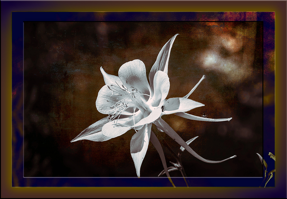 End of Summer Columbine (1 of 1)-2 art blog