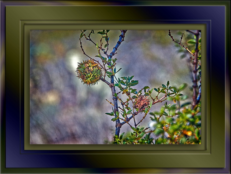 SCVN Nature Walk 01-03-12__Creosote Gall Midge blog
