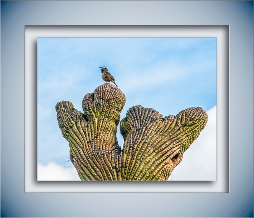 Cactus Wren on a Crested Saguaro blog