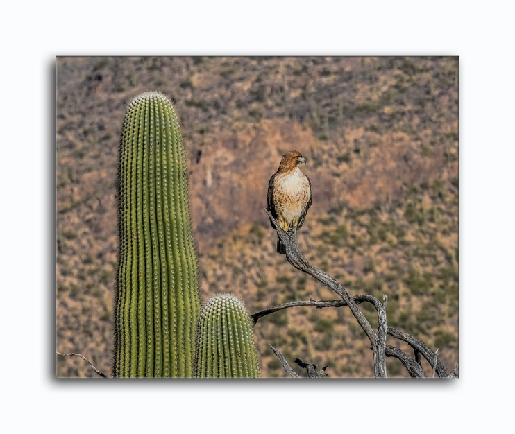 Cooper's Hawk-0803 blog